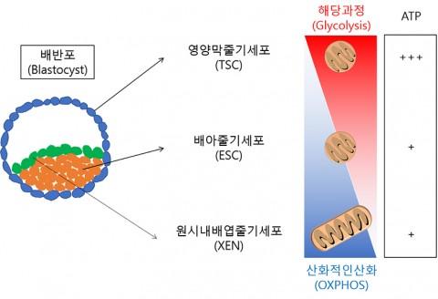 건국대 줄기세포학과 연구팀이 초기 배아 유래 세 가지 줄기세포 에너지 대사의 특징을 규명했다