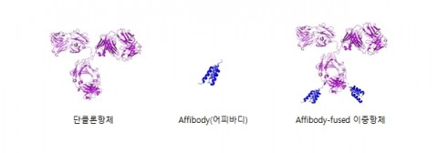 왼쪽부터 단클론항체, Affibody(어피바디), Affibody-fused 이중항체