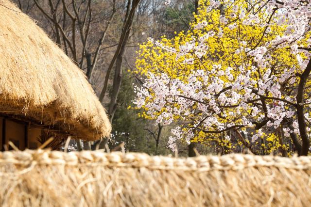 한국민속촌의 봄꽃