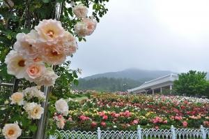 금강수목원에 핀 장미꽃 (사진제공: 충청남도청)