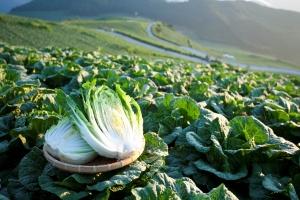 제철 채소들 중에서도 고랭지 배추와 무는 지금 이맘때만 나오는 특별한 재료다.