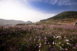 슬로시티 청산도의 코스모스 핀 가을 풍경 (사진제공: 완도군청)