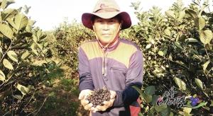 고창베리팜이 일주일간 아로니아생과 10% 특별할인 판매를 실시한다 (사진제공: 베리팜영농조합법인)
