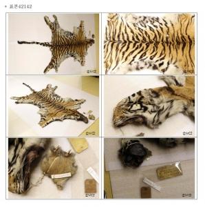 하버드대 비교동물학박물관에 보관되어 있는 조선 호랑이 가죽 두 점.  1903년경 목포 인근에서 윌리엄 스미스에 의해 포획된 호랑이 두 마리의 가죽 표본임. 현재 전시 되어 있지 않고 창고에 보관 중이며 지난 수 십 년간 전시 된 적은 없는 것 같다고 함. 색깔이나 촉감 모두 훌륭한 상태로 보관 되어 있음. 표본 42143은 다리 4개가 모두 온전한 상태로 보존되어 있었고, 표본 42142는 발 1개만 부착된 상태임. (사진 저작권자: Museum of Comparative Zoology(MCZ), Havard University, 사진사용 시 저작권자 표기 요망) 1A. 표본 번호 42142. 측정치: 꼬리 80cm, 머리 39cm, 두동장(Head & Body) 161cm. (사진제공: 한국야생동물유전자원은행)