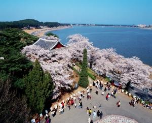 경포대 벚꽃 (사진제공: 믿음여행사)