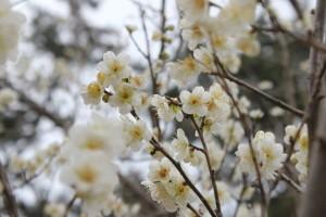 다도해탐방로 곳곳에 봄바람을 타고 꽃망울들이 개화했다. 사진은 관매도 매화