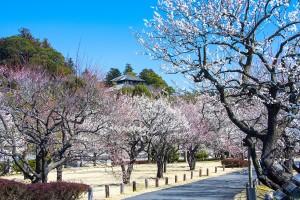 여행박사가 일본 도쿄행 이바라키 항공권을 출시했다. 사진은 봄꽃이 만발한 카이라쿠엔 공원