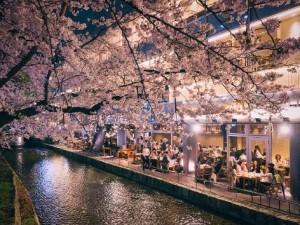 일본 교토의 벚꽃 전경