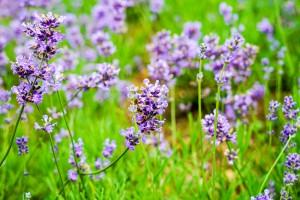 다양한 허브와 꽃을 볼 수 있는 제주 허브동산의 라벤더 축제