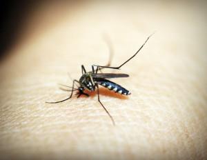 여름철 불청객 모기는모기 상처를 잘못 관리해 생기는 봉소염(봉와직염) 수면장애를 통한 면역력 저하 등을 유발한다.