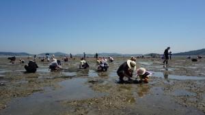 지난해 화성 백미리에서 열린 수협중앙회 소그룹 어촌 방문행사에서 참가자들이 조개캐기 체험을 하고 있다