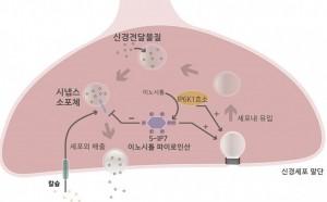 이노시톨 파이로인산에 의한 신경전달물질 분비 조절 모식도
