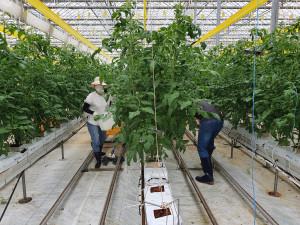 한농대 교직원들이 태풍 피해를 입은 전북 김제의 한 토마토 재배 농가를 방문해 일손돕기를 진행했다