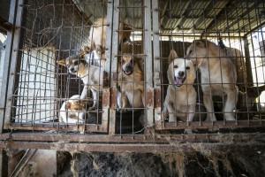 동물보호단체 휴메인 소사이어티 인터내셔널이 17번째 식용견 농장을 폐쇄하고 식용견 인식 조사 결과를 발표했다