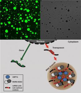 작은 간섭 RNA 생합성인자의 상분리 현상과 비자가 침입 유전자에 대한 특이적 억제 모델