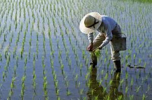 벼농사는 관개량 조절과 농부의 노동력을 필요로 하며 이는 해당 지역의 상호 의존적 문화로 이어졌을 가능성이 높다