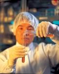 김치유산균 무균 접종 배양 장면