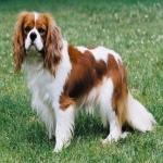 이름부터 '비싼 강아지' 느낌, 카발리에 킹 찰스 스패니얼