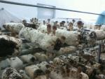 중국에서 불법수입되어 재배되고 있는 참송이버섯 톱밥배지.