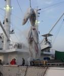 동원산업이 고위도 북대서양 참다랑어를 어획하는 데 성공했다