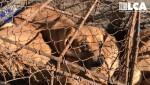 한국의 한 개고기 농장에 갇혀 있는 개들