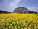 제주 산방산과 유채꽃
