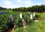 한국농수산대학 교직원들이 대학 인근 농가를 찾아 일손 돕기를 진행하고 있다