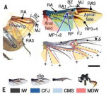 장수풍뎅이 뒷날개: (A) 접힌 모습과 펼쳐진 모습, (E) 실험에 사용한 날개
