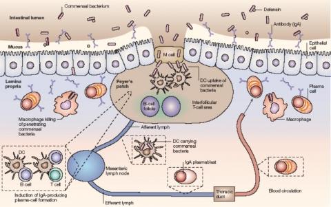 베타글루칸의 인체흡수 면역 메카니즘 도해 (Nature Reviews Immunology 4, 478-485, 2004)