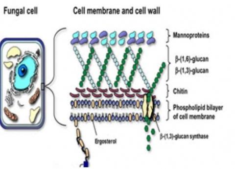 버섯류의 세포구조와 세포벽에 끼어있는 베타글루칸. 베타글루칸은 세포벽 내에 존재하는데, 버섯을 통째로 물에 넣고 끓이면 구조적으로 베타글루칸은 거의 물 밖으로 나오지 못한다.