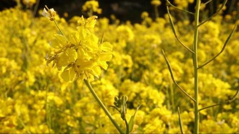 여행박사가 5일간 광양·여수·제주의 매화·산수유·유채꽃을 보는 봄꽃여행 상품을 출시했다. 사진은 제주 유채꽃