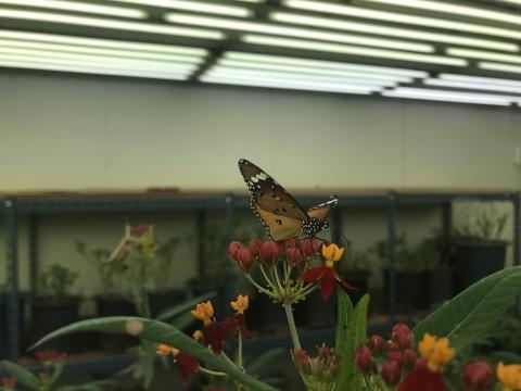서울숲나비정원에서 만날 수 있는 끝검은왕나비
