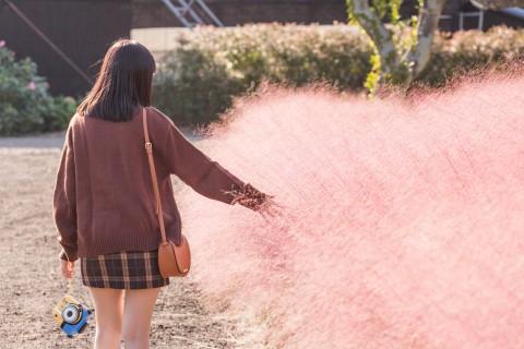 제주허브동산이 핑크뮬리 축제를 맞아 천연 로즈마리 미스트 증정 이벤트를 개최한다