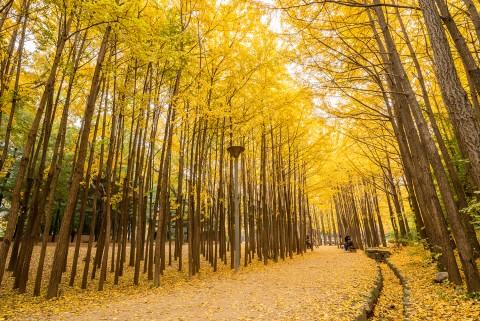 서울숲 은행나무숲길은 서울숲의 대표적 가을 명소이다