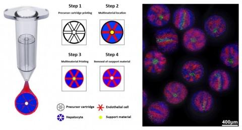 왼쪽부터 간 오가노이드 프린팅 기법 개념도 및 실제 프린팅 된 간 오가노이드