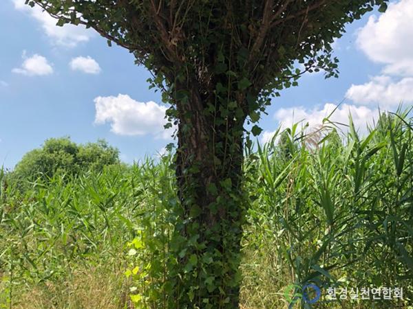 한강공원 나무를 뒤덮은 가시박