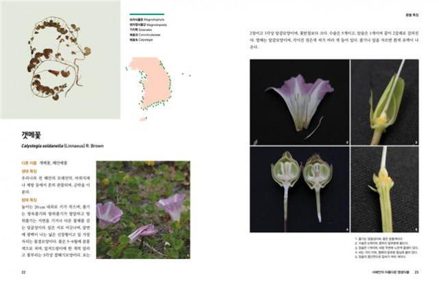 서해안의 아름다운 염생식물 갯메꽃 부분 발췌