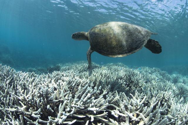 백화현상으로 황폐해진 오스트레일리아 퀸즐랜드 헤론 섬의 산호초 지대를 바다거북이가 헤엄쳐 지나가고 있다