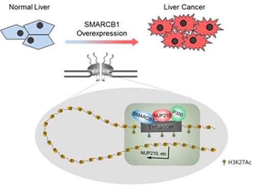 간암에서 SMARCB1의 과발현으로 핵막단백질 NUP210 인핸서에 크로마틴 구조 변화를 야기하여 비정상적인 발현을 유도시켜 간암 발생 및 유지에 기여하는 기전 규명