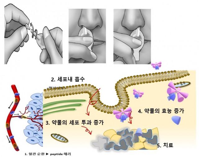 아이큐어비앤피 세포투과 펩타이드 기술 모식도