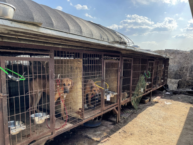 동물보호단체들이 용인 식용견 농장 및 도살장서 50여 마리 개를 구조했다
