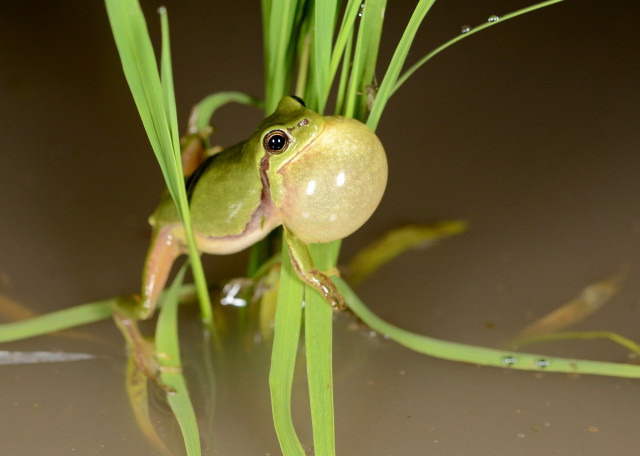 멸종위기야생동물 1등급으로 지정된 수원청개구리