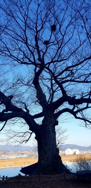 반구정 느티나무